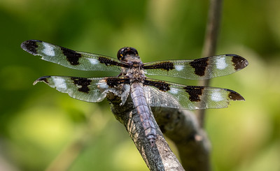 Twelve Spotted Skimmer, a little battered.
