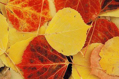 (E044) Autumn aspen leaves