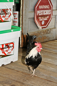 Quirky_Jill Margeson_Aberdeen rooster has the run of the store