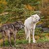 Wolf duet