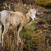 Female and Young Bighorn Sheep