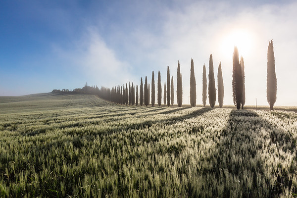 Row of cypresses