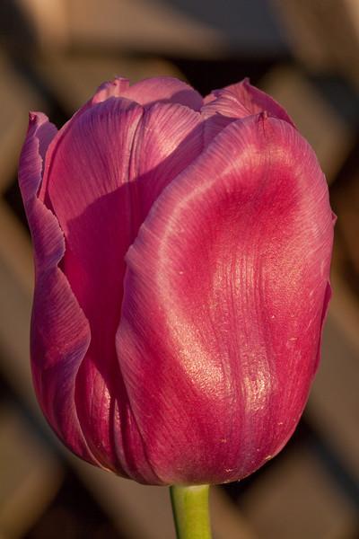 050610.  Late tulip outside my door.
