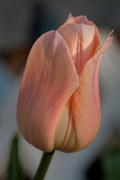 Apricot Beauty, one of my favorites.