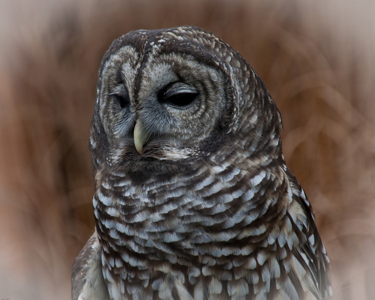 12-01-2012. Oliver the  Barred Owl at Carlyle Reservation Raptor Photo Op.