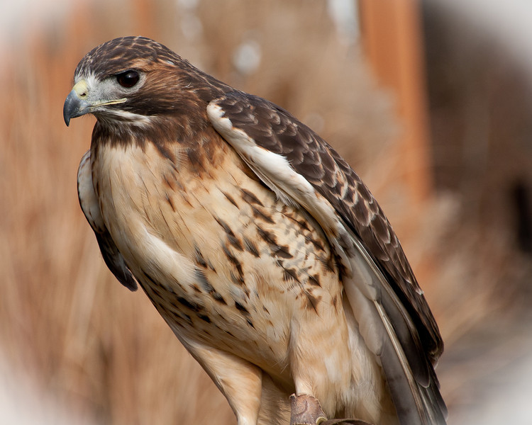 12-01-2012. Aphrodite the Red Tailed Hawk at Carlyle.