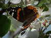 Red Admiral.  With my little camera no less!