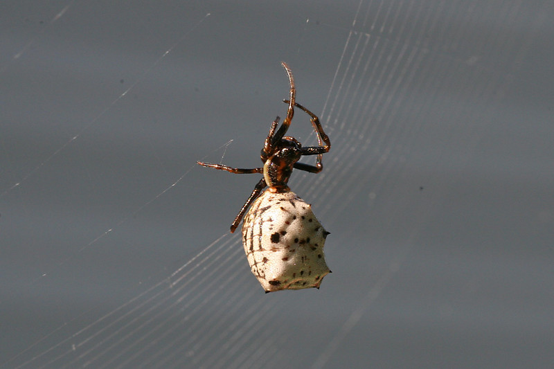 August 28, 2007.  Another view of our Micrathena, nicknamed Spike.  She was very hard to photograph, expecially with a macro lens, since anything that ruffled the apple leaves in the slightest set the whole web into motion.