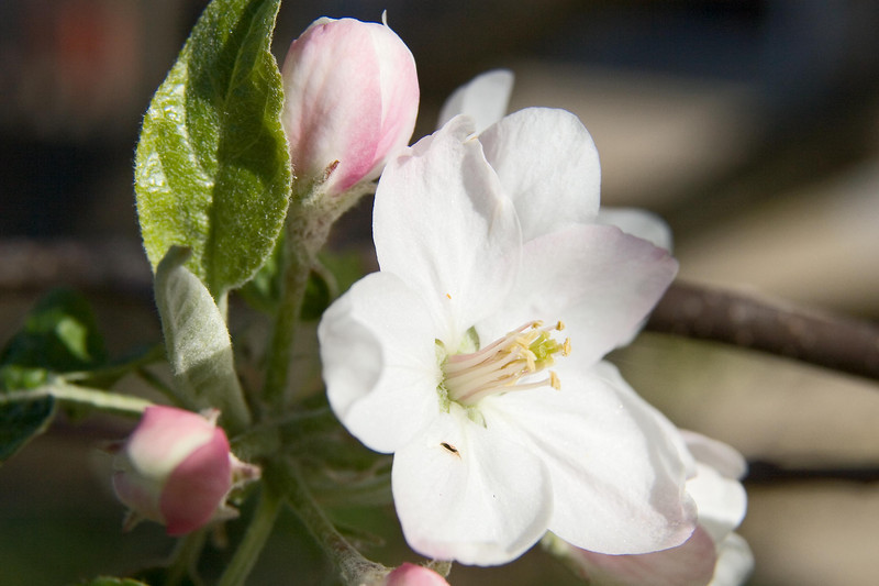 April 28, 2007.  The apple tree outside the deck is blooming.