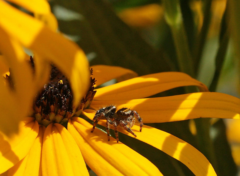 August 11, 2007.  One of my favorite jumping spiders in the Rudbeckia behind my house.  Clarity of the spider is very good at larger sizes, even though I cropped a lot of flowers out.