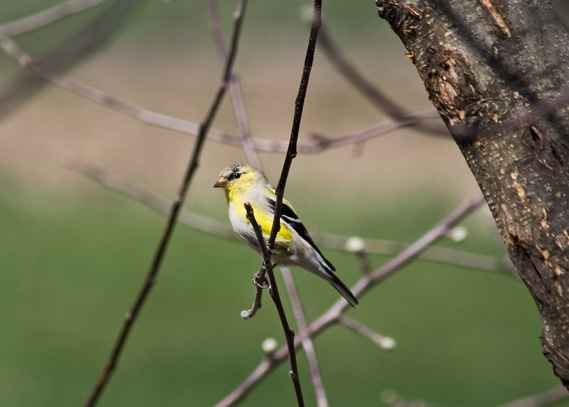 April 1, 2007.  Another shot of a changing goldfinch in my apple tree.