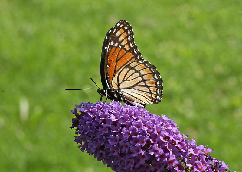 August 12, 2007.  I got a new Tamron 90MM macro lens and the next few photos are the result of me playing with it.  This Viceroy on the butterfly bush is incredibly vivid.  At full size the scales and feathering on the insect are very visible.