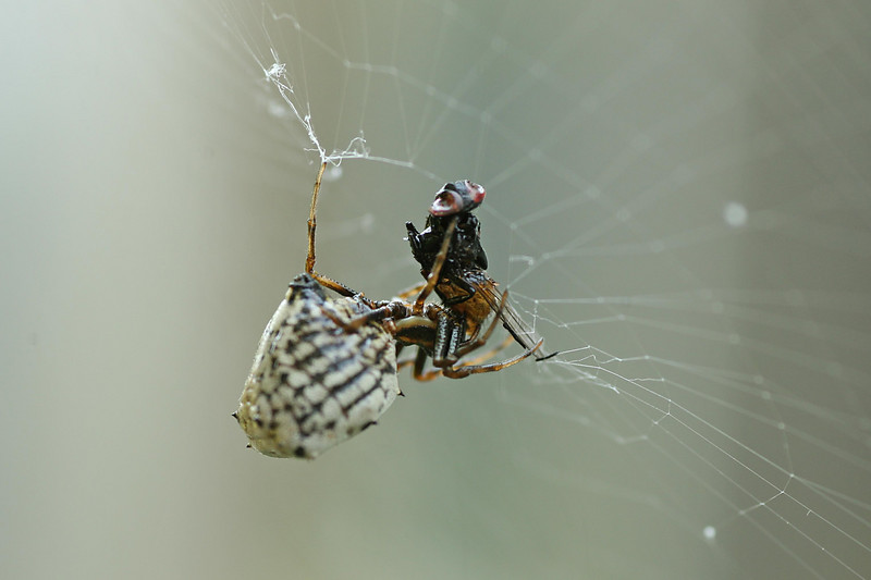 August 28, 2007.  Spike hanging in her web, feeding on a fly.  We watched the fly shrivel up.  Gross but fascinating.