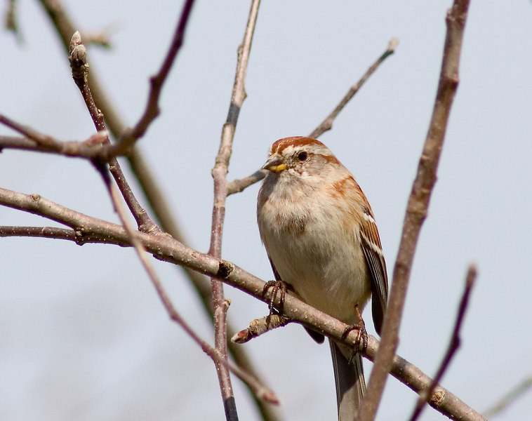 March 25, 2007.  After taking a trip to Sandy Ridge Reservation to check out the waterfowl, it turns out that my best shot was a lowly Tree Sparrow in the apple tree outside deck at home.  His eye is on the sparrow......