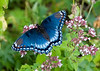 July 29, 2007.  This was the most brilliant Red Spotted Purple that I had ever seen.