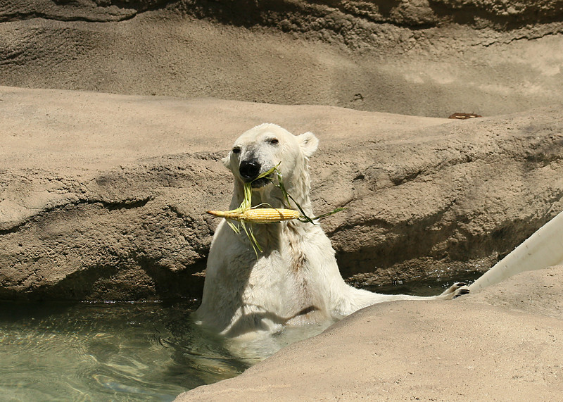 6/29/2007.  As part of an enrichment program, many of the animals at the zoo are given toys, or other things to give them a more interesting life.  Somehow a polar bear and an ear of corn.....................