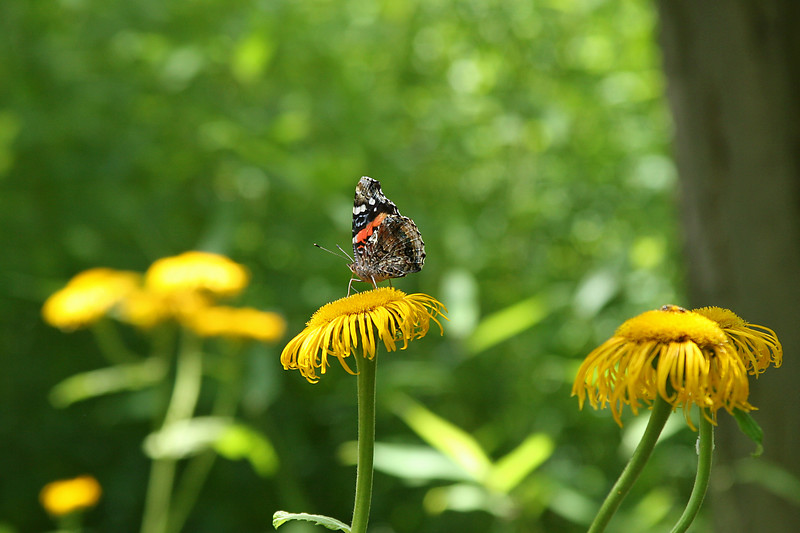 June 29, 2007.  Jake and I went to the Zoo.  Frequently I like the flowers better than the animals.  This painted lady posed for us.