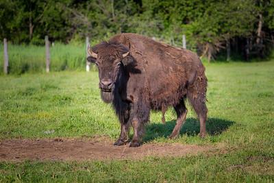 David Durr's Buffalo