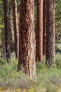 Ponderosa Pine (Metolius)