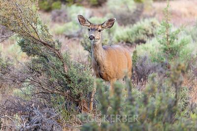 Deer in Indian Ford Meadow