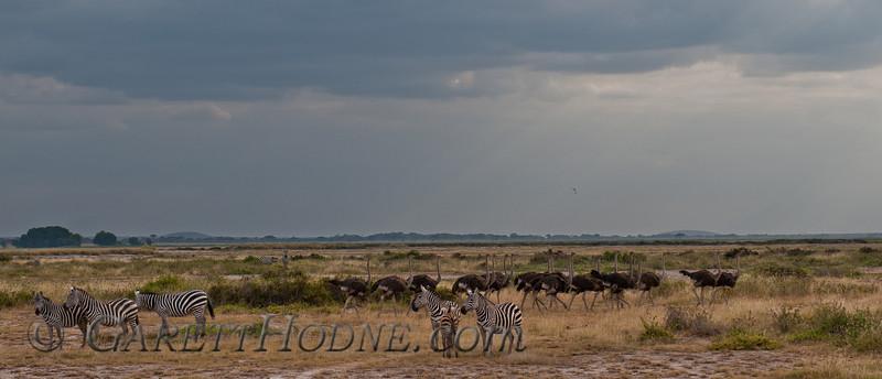 Common (Burchell's) Zebra  (Equus quagga burchelli), Ostrich (Struthio camelus)