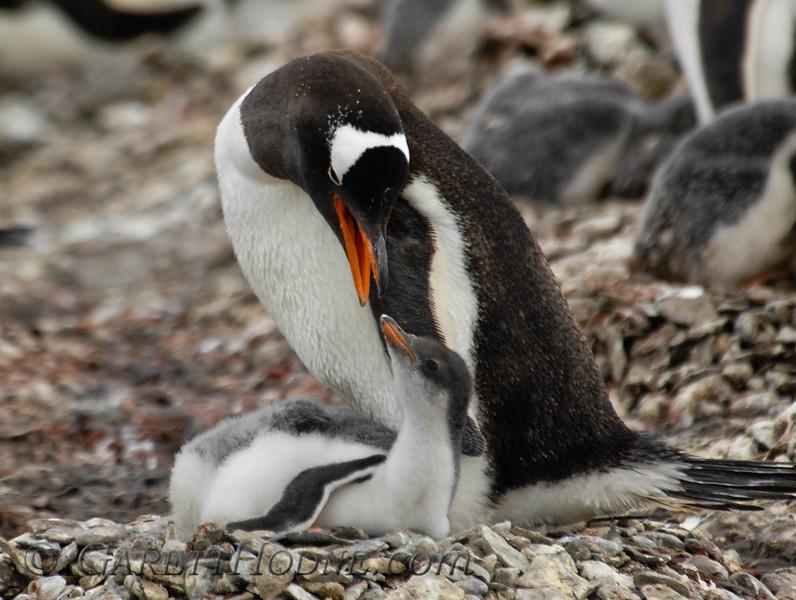 Gentoo Penguin (Pygoscelis papua) mother and chicks.