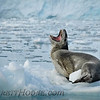 Leopard Seal (Hydrurga leptonyx) showing off his canines.