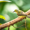 Olive-backed Sunbird (Cinnyris jugularis) male