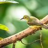 Olive-backed Sunbird (Cinnyris jugularis) male