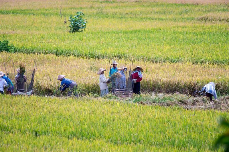 Rice farmers of Ubud, Bali, Indonesia