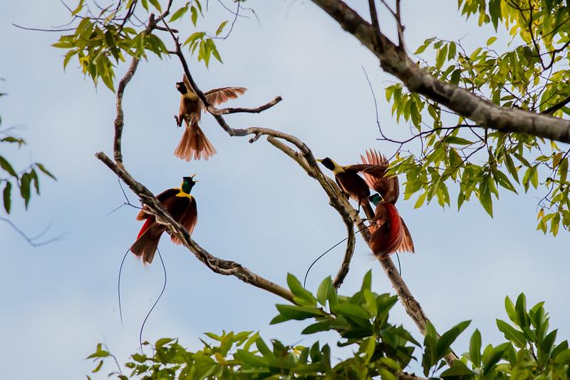 Red Bird-of-paradise (Paradisaea rubra)