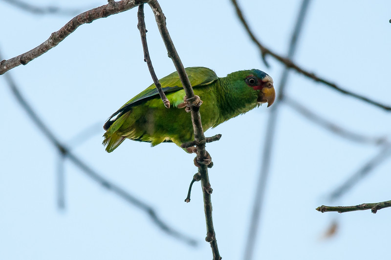 White-fronted Parrot (Amazona albifrons)