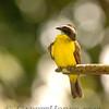 Social Flycatcher (Myiozetetes similis),