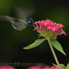 Violet-headed Hummingbird (Klais guimeti)