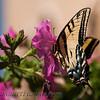 Two-tailed Swallowtail (Papilio multicaudata) < Papilionidae