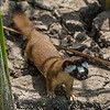 Longtail Weasel (Mustela freneta)<br /> Bosque del Apache NWR, New Mexico