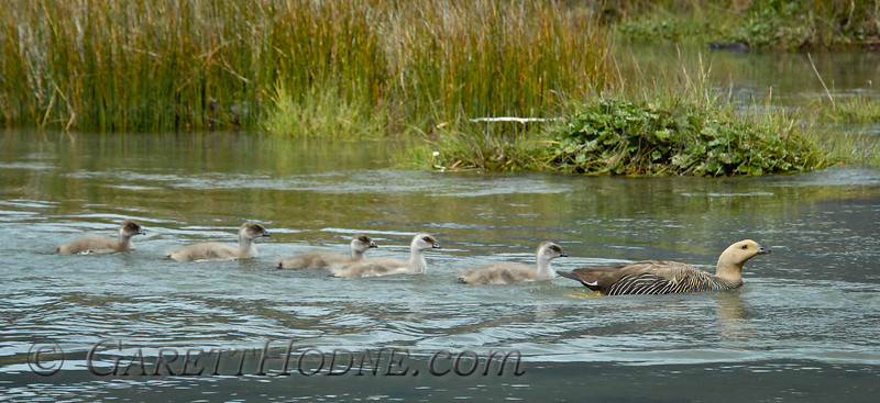 Upland Goose (Chloephaga picta) female with goslings