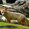 Andean Fox (Culpeo) (Lycalopex culpaeus)