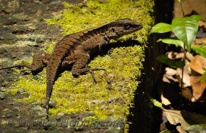 Lizard (sp?)