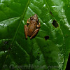 Tree frog (sp?)