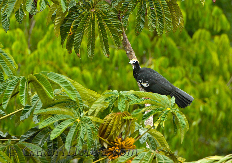 Blue-throated Piping-Guan (Pipile cumanensis)