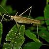 Grasshopper (sp?)