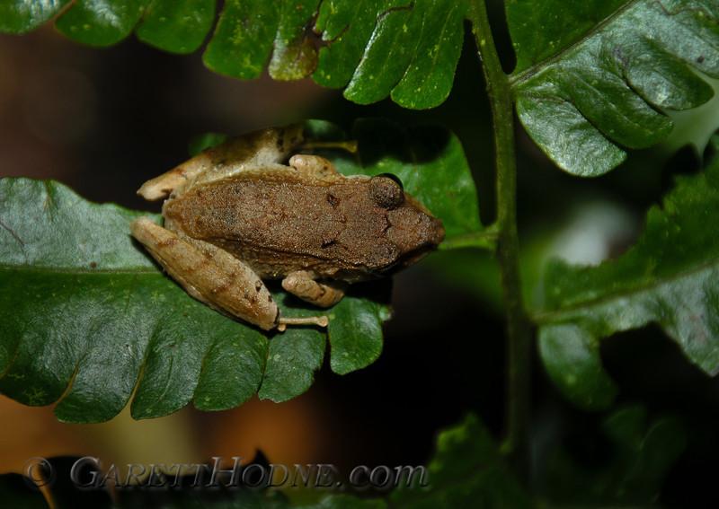 Tree frog thumbnail size.