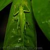 Katydid type bug