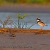 Pied Lapwing (Vanellus cayanus)