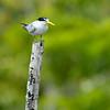 Yellow-billed Tern (Sternula superciliaris)