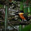 Green-and-rufous Kingfisher (Chloroceryle inda)