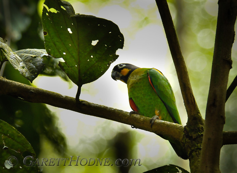 Orange-cheeked Parrot (Pyrilia barrabandi)