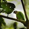 Orange-cheeked Parrot (Pyrilia barrabandi)