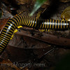 Centipede about 6 inches long